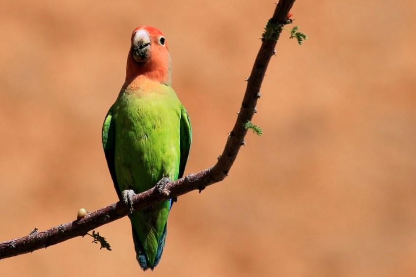 Spitzkoppe in Namibie is een highlight en is perfect voor het spotten van deze mooi vogels