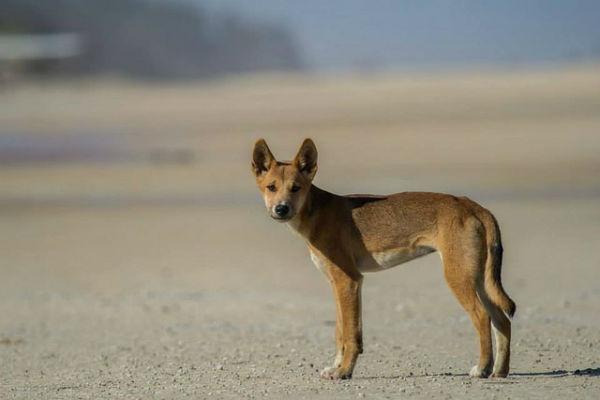 Yeah! Dingo gespot op Fraser Island