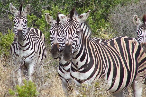Mooie zebra's met prachtige prints