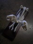 two headed rabbit skeleton 82 300s 100r