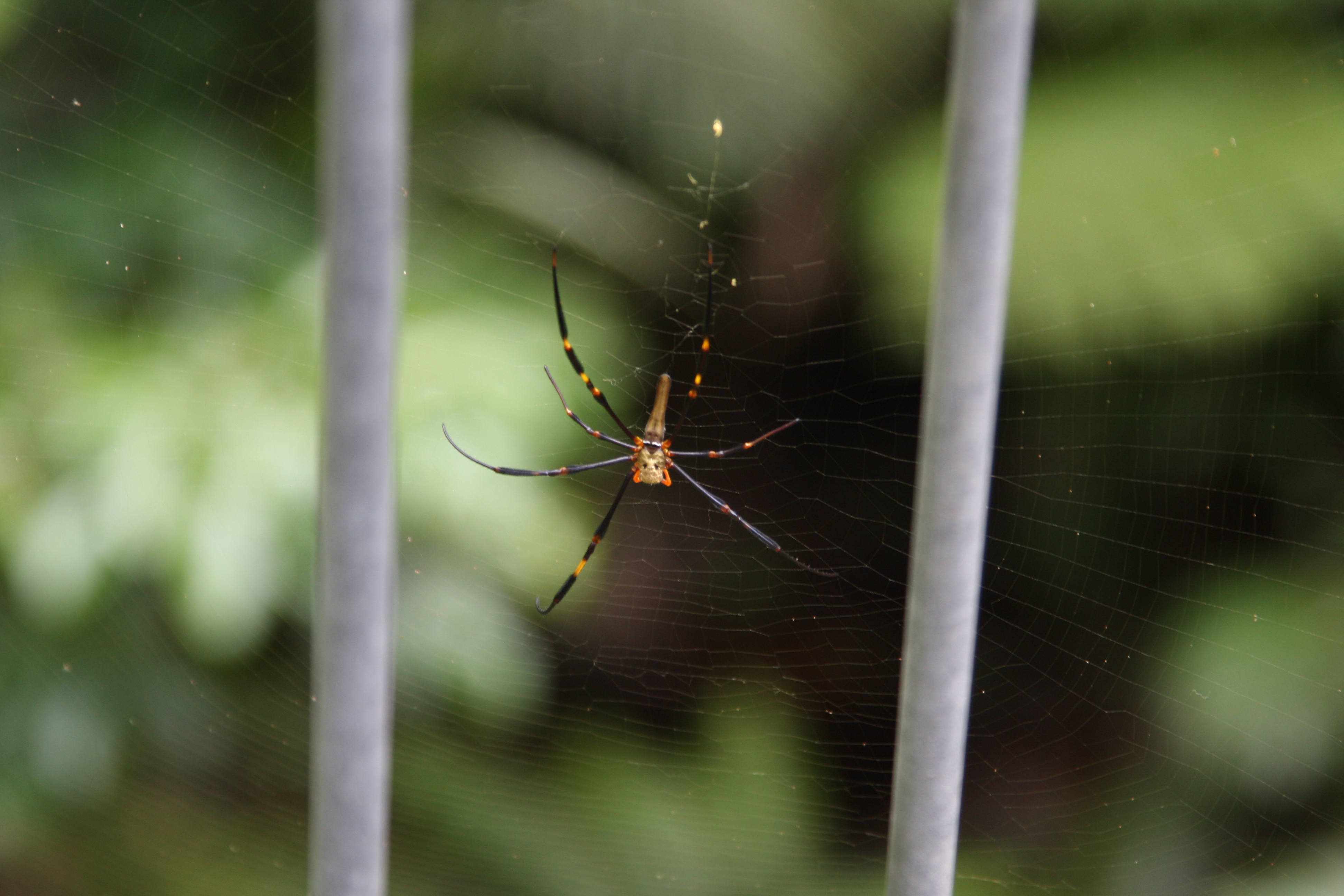spider in the Daintree Rainforest Discovery Centre