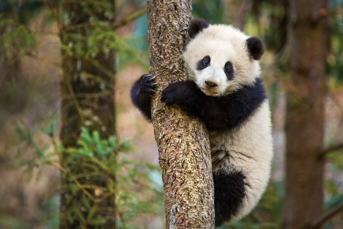 DisneyNature's True Life Adventure film 'Born in China' Heading to Theaters Spring 2017