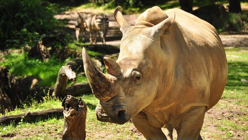 """Up Close with Rhinos."""