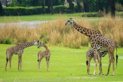 """Guests at Disney's Animal Kingdom at Walt Disney World Resort in Lake Buena Vista, Florida, may be able to spot a new addition on the Kilimanjaro Safaris savanna. A 2-month-old male Masai giraffe named Jabari (center) has officially joined the giraffe herd. Jabari, which means """"brave one"""" in Swahili, is a bold, curious and courageous calf and his name celebrates his spirit. Standing seven feet tall, Jabari has spent the past two months bonding with his mom, Mara, in a backstage habitat. True to his name, Jabari has quickly reached all his key developmental milestones, so on March 12, 2019, he was reintroduced to the savanna and his tower – otherwise known as a group of giraffe. Jabari has several special distinctions; he is the first giraffe calf to be born on the savanna at Disney's Animal Kingdom, and he has a special heart-shaped spot on his neck. (David Roark, photographer)"""