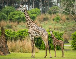 """Guests at Disney's Animal Kingdom at Walt Disney World Resort in Lake Buena Vista, Florida, may be able to spot a new addition on the Kilimanjaro Safaris savanna. A 2-month-old male Masai giraffe named Jabari (right) has officially joined the giraffe herd. Jabari, which means """"brave one"""" in Swahili, is a bold, curious and courageous calf and his name celebrates his spirit. Standing seven feet tall, Jabari has spent the past two months bonding with his mom, Mara, in a backstage habitat. True to his name, Jabari has quickly reached all his key developmental milestones, so on March 12, 2019, he was reintroduced to the savanna and his tower – otherwise known as a group of giraffe. Jabari has several special distinctions; he is the first giraffe calf to be born on the savanna at Disney's Animal Kingdom, and he has a special heart-shaped spot on his neck. (David Roark, photographer)"""