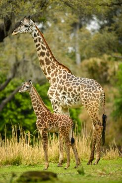 """Guests at Disney's Animal Kingdom at Walt Disney World Resort in Lake Buena Vista, Florida, may be able to spot a new addition on the Kilimanjaro Safaris savanna. A 2-month-old male Masai giraffe named Jabari has officially joined the giraffe herd. Jabari, which means """"brave one"""" in Swahili, is a bold, curious and courageous calf and his name celebrates his spirit. Standing seven feet tall, Jabari has spent the past two months bonding with his mom, Mara, in a backstage habitat. True to his name, Jabari has quickly reached all his key developmental milestones, so on March 12, 2019, he was reintroduced to the savanna and his tower – otherwise known as a group of giraffe. Jabari has several special distinctions; he is the first giraffe calf to be born on the savanna at Disney's Animal Kingdom, and he has a special heart-shaped spot on his neck. (David Roark, photographer)"""