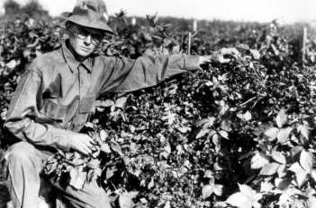 Walter tending berries c.1946