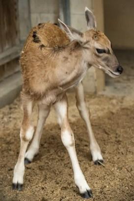 Baby Eland Doppler