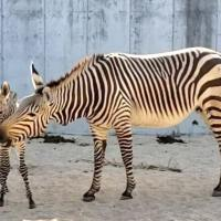 Disney's Animal Kingdom Welcomes Baby Zebra and Porcupine to the Park