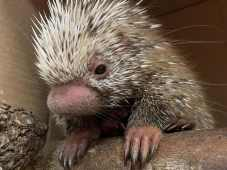 The prehensile-tailed porcupine born Feb. 25, 2020, at Disney's Animal Kingdom at Walt Disney World Resort in Lake Buena Vista, Fla., is named Shelley. The porcupette was named after Disney Cast Member Shelley, a veterinary services manager who played a significant role in the baby's birth. The porcupette now weighs more than two pounds. (Disney)