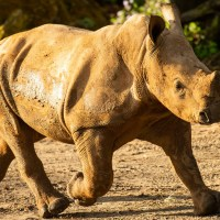 Ranger the Rhino Calf Debuts on Kilimanjaro Safaris