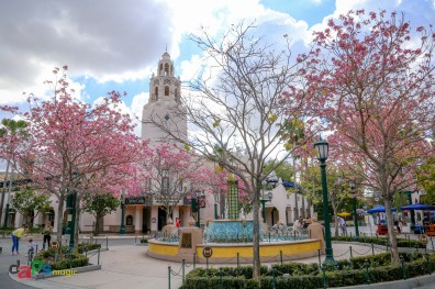 The Tabebuia trees blooming in Carthay Circle on Buena Vista Street at Disney California Adventure