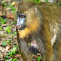 Baby Mandrill Born at Disney's Animal Kingdom
