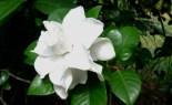 cape-jasmine