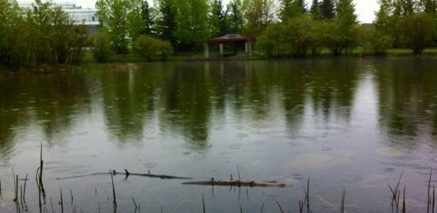 Rainy duck pond