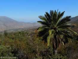 Palma Chilena in the wild, fittingly near Las Palmas