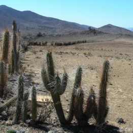 spiky cactus fence