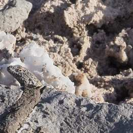 Salar de Atacama: spot the lizard