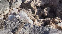 Salar de Atacama: spot the lizard