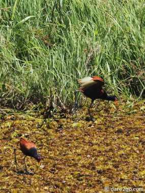 Esteros del Iberá: 2 Wattled Jacanas.