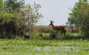 Iberá: a marsh deer stag doesn't like us so near. As it takes off the cabybara jumps out of its way.