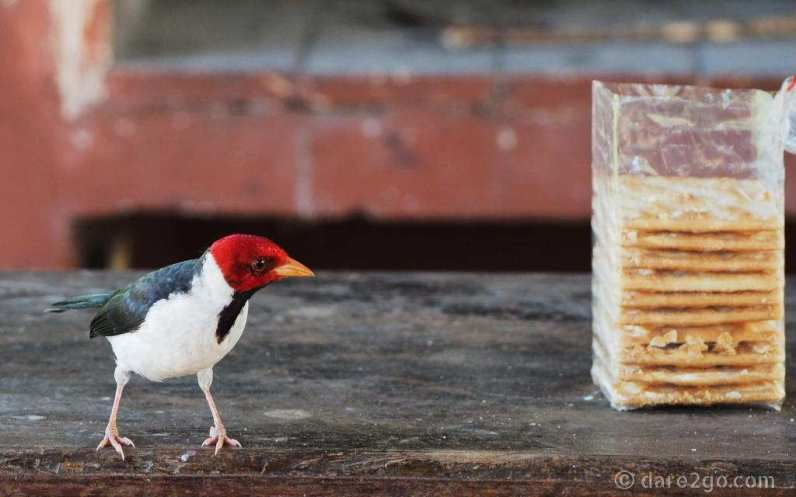 A Red Cardinal eyeing off the cookies.