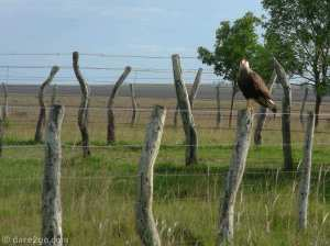 A Caracara sitting on a fence post and keeping an eye on us