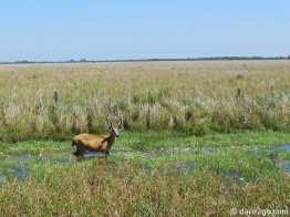 Iberá: a lone male marsh deer grazing next to the road