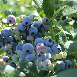 Blueberries – Add Antioxidants repair Lyme damage