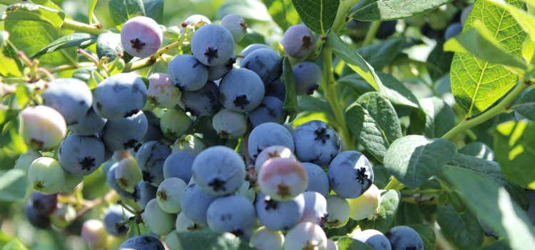 Blueberries – Add Antioxidants repair Lyme damage