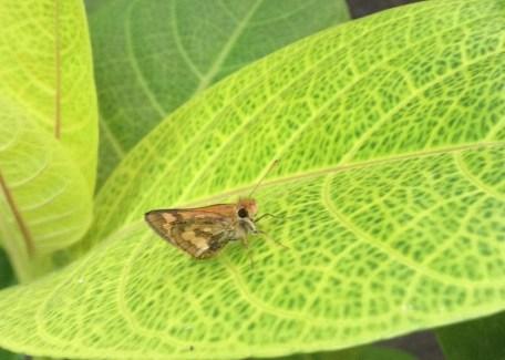 A little brown butterfly
