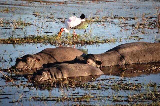 Hippo Pod with Yellowbill Stork