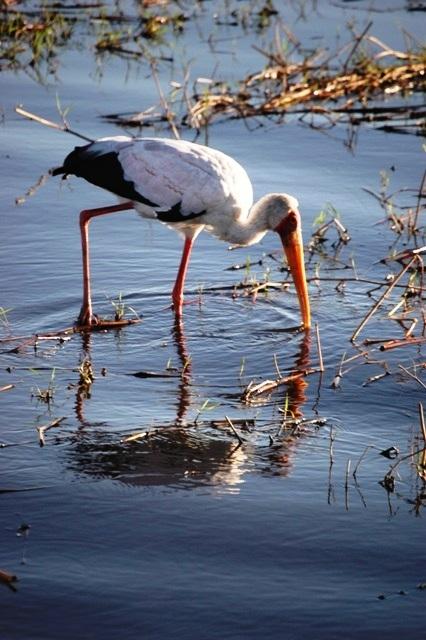 Yellowbill Stork