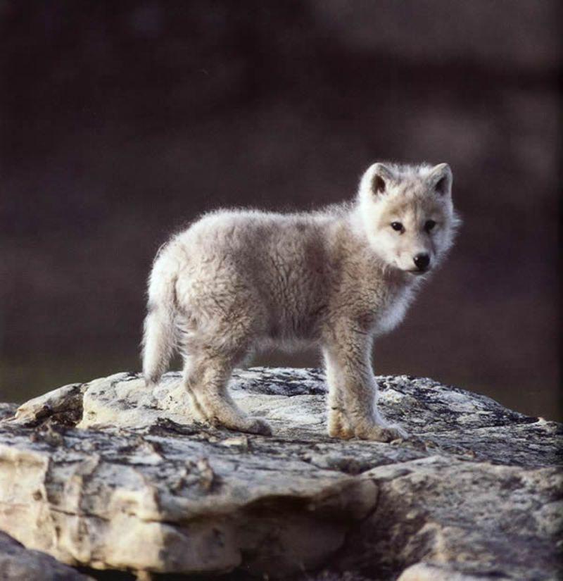 """Résultat de recherche d'images pour """"image de loup trop mimi"""""""