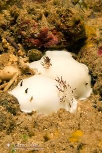 Fellows Nudibranch