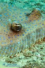Flowery Flounder