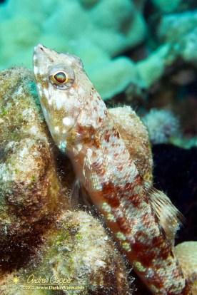 Twospot Lizardfish