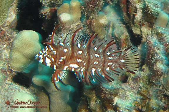 Dragon Wrasse