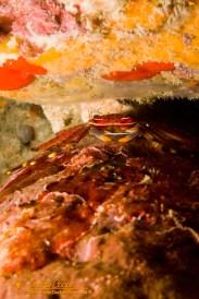 Flat Rock Crab