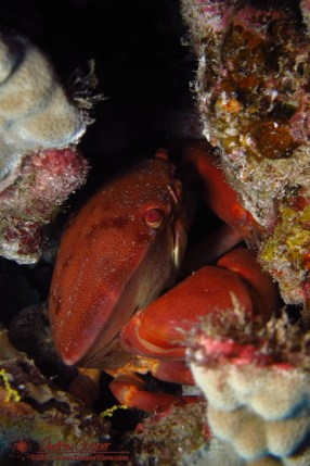 Convex Crab