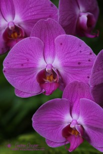 Doritaenopsis Orchid