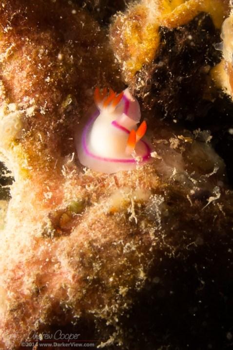 Danielle's Nudibranch