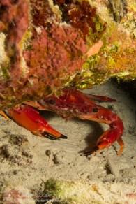 Red Swimming Crab