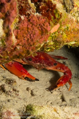 Red Swimming Crab