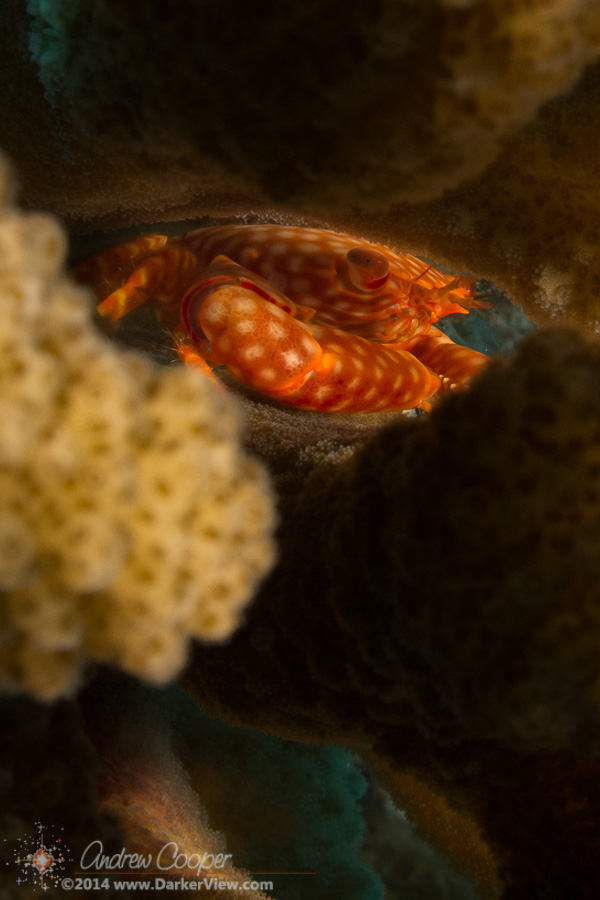 Guard Crab