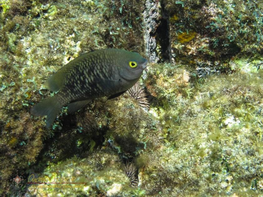 Pacific Gregory (Stegastes fasciolatus)