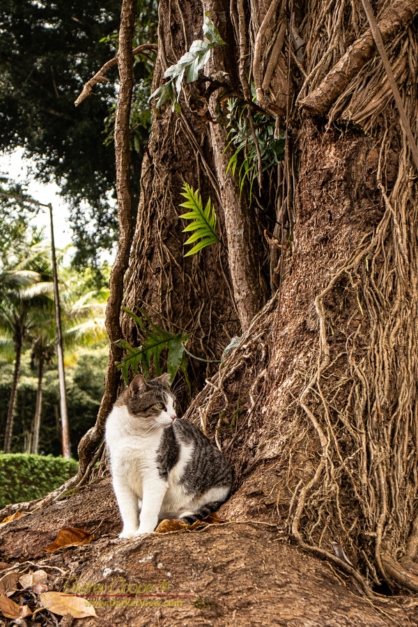 A stray cat hanging out at the base of one of Hilo's massive banyan trees