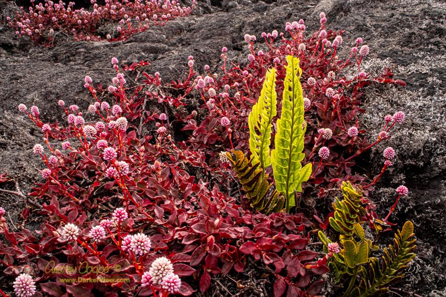 Pink knotweed (Persicaria capitata) and ferns along the Puʻu Oʻo trail