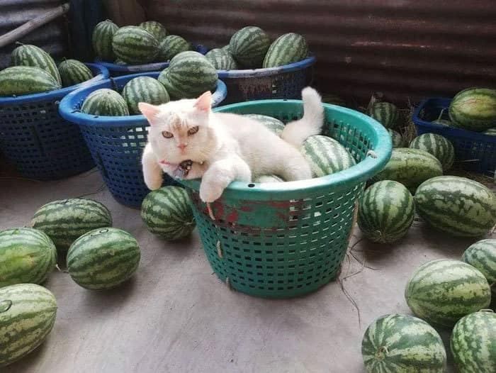 cat and watermelons