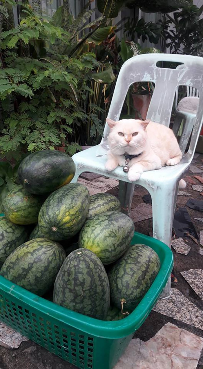 cat sitting in front of watermelons